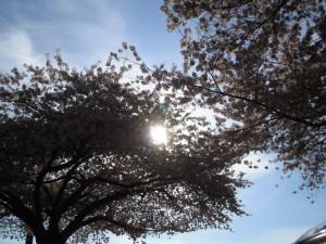 cherry_blossom tree
